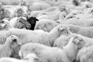 כבשים באירופה